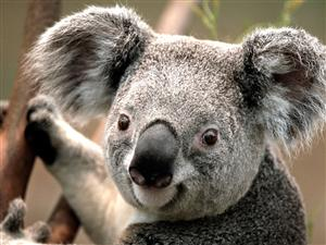 picture of a koala